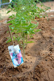 Young tomato plants in home garden. Young tomato plants growing in home garden Royalty Free Stock Photo