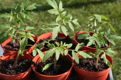Young tomato plants in pots. Stock Photos
