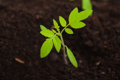 Young tomato sapling in potting compost Stock Images