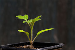 Young tomato seedling growing out of soil Royalty Free Stock Image