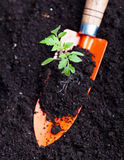 Young tomato seedling on small spade Stock Photo