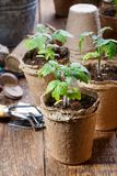 Young tomato seedling sprouts in the peat pots. Gardening concept. Close-up stock images