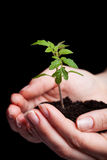 Young tomato seedling in woman hand Royalty Free Stock Photo