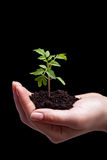 Young tomato seedling in woman palm Royalty Free Stock Photo