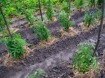 Free Young Tomato Seedlings Covered With Dry Grass Royalty Free Stock Photography - 133643137