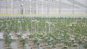 Young tomato seedlings grow in greenhouse on hydroponics in agroholding.