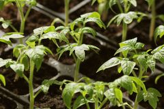 Young tomato seedlings growth in pots Stock Photos