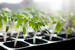 tomato seedlings in plastic pots ready to plant royalty free stock photo