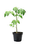 Young tomato sprout Royalty Free Stock Photos