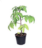 Young tomato sprout Stock Photo