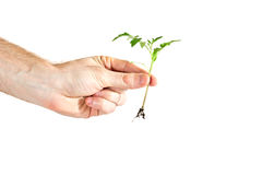 Young tomato sprout in hand Royalty Free Stock Photo