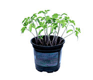 Young tomato sprouts Royalty Free Stock Images