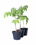 Young tomato sprouts in a garden pots isolated Stock Photography