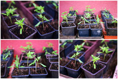 Young tomatoes seedling royalty free stock photos