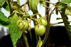 Young tomatoes in sunshine. A group of young green tomatoes growing on vine in sunshine at home garden in spring time Stock Photos