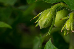 Young tomatoes on vine in backyard garden Royalty Free Stock Image
