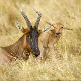 Young Topi Masai mara Kenya Royalty Free Stock Images