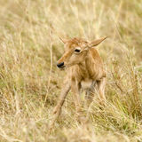 Young Topi Masai mara Kenya Royalty Free Stock Photos