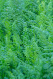 Young tops of carrots Royalty Free Stock Photos