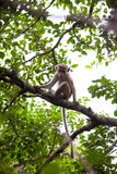 Young Toque macaque monkey Stock Photography