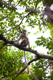 Young Toque macaque monkey Royalty Free Stock Images