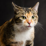 Young Torbie Kitten Cat sticking her Tongue Out Royalty Free Stock Image