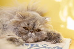 Young tortie persian cat Royalty Free Stock Photo