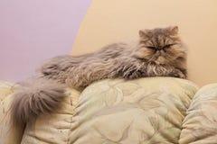 Young tortie persian cat Stock Photos