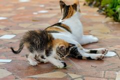 Young tortoieshell calico kitten cat playing with her mother tail. Playful cute tortie torty kitty stock images