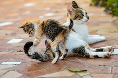 Young tortoieshell calico kitten cat pouncing on tail on female adult cat. Pounce pounced jump jumping hunter hunting skill teaching teach learn learning stock images