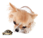 Young Tortoise and chihuahua Royalty Free Stock Image