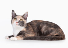 Young tortoise domestic cat Stock Photography
