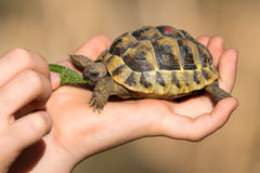 Young tortoise eating in hand Stock Images