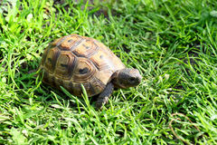 Young tortoise on lawn Stock Photos