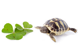 Young Tortoise and trefoil royalty free stock photography