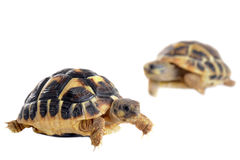 Young Tortoises Stock Photo