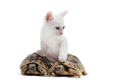 Young Tortoises And Cat Stock Images
