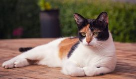 A young Tortoiseshell Calico Cat lying in the sun. My own tortoiseshell calico Greek Rescue cat Olivia, lying down looking very relaxed stock image
