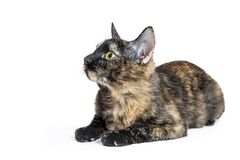 Tortoiseshell Cat Lying Facing Side. Young tortoiseshell cat lying down on white facing and looking to side royalty free stock photos