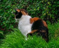 Tortoiseshell calico cat sitting in long grass royalty free stock images