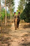 Young tourist man enjoying an eco tourism cruising the tropical jungle of Thailand sitting on an elephant on background green fore. St and mountain stock images