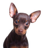 Young toy terrier dog isolated Royalty Free Stock Photography