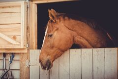 Free Young Trakehner Chestnut Mare Horse Looking Out From Stall Daytime Stock Photo - 178036440