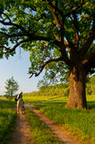 Young traveler with bicycle looking at huge oak. Young traveler with bicycle and camera looking at huge oak beside the country road on sunny spring day Royalty Free Stock Photography
