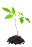 Young tree. Growing from soil isolated on white background Stock Photo