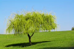 Young tree Royalty Free Stock Photography