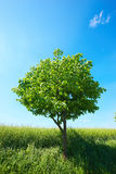 Young tree Royalty Free Stock Photos