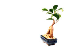 Young tree bonsai Royalty Free Stock Image