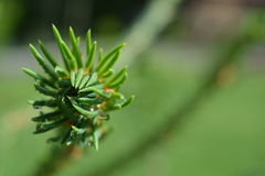 Young tree branch. Young spruce branch begins its life Stock Image