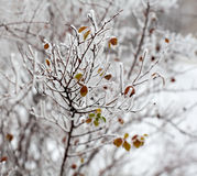 Young tree branches covered with hoarfrost Royalty Free Stock Photography